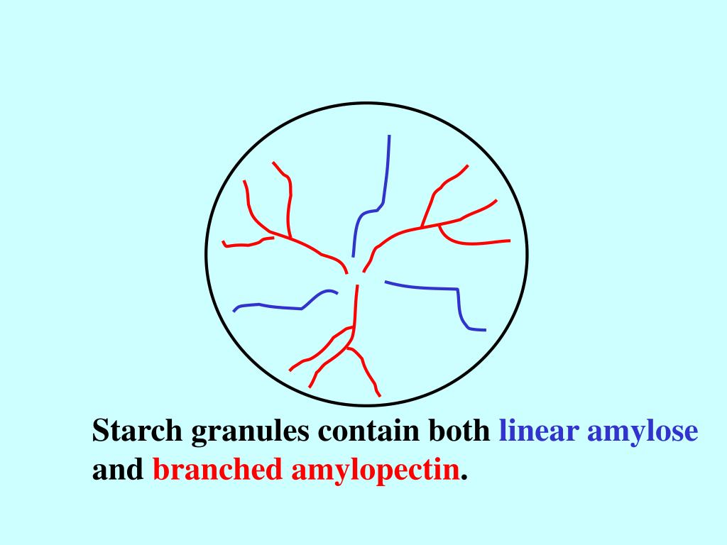 Starch granules contain both