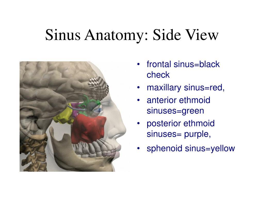 Sinus Anatomy: Side View