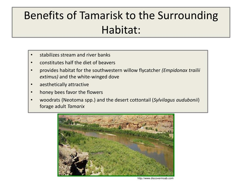Benefits of Tamarisk to the Surrounding Habitat:
