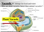 vacuole storage for food and water why are plant vacuoles larger than animal vacuoles