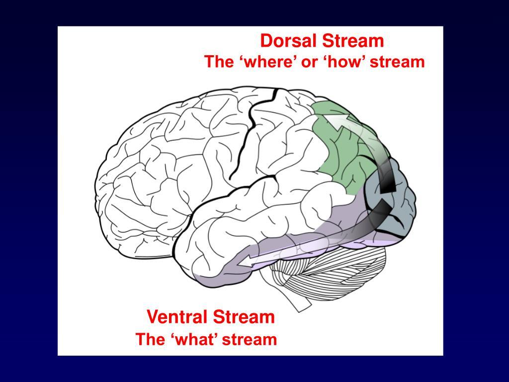 Dorsal Stream