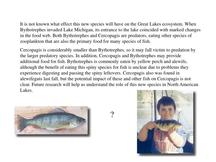 It is not known what effect this new species will have on the Great Lakes ecosystem. When Bythotrephes invaded Lake Michigan, its entrance to the lake coincided with marked changes in the food web. Both Bythotrephes and Cercopagis are predators, eating other species of zooplankton that are also the primary food for many species of fish.