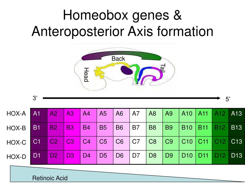 Homeobox genes &