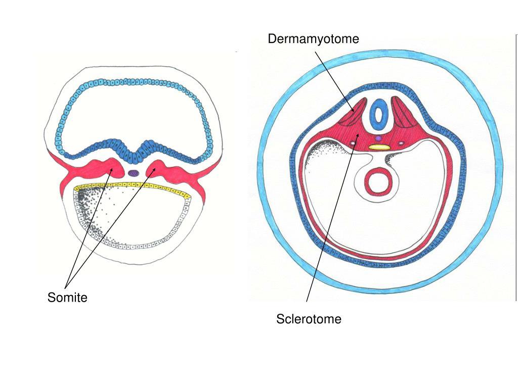Dermamyotome