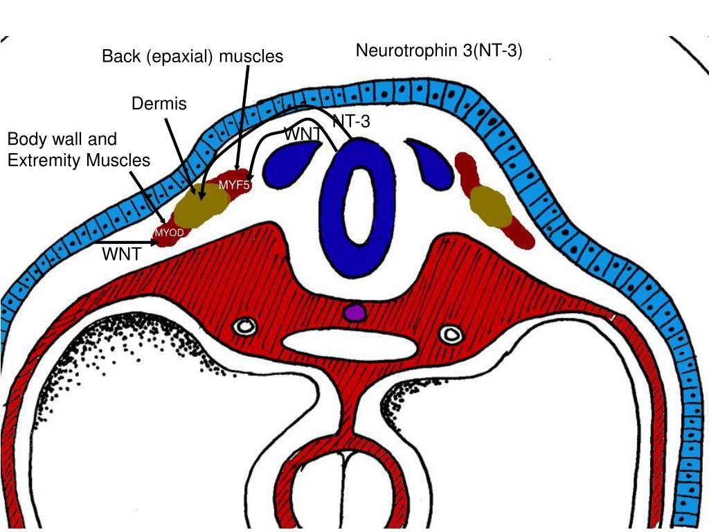 Neurotrophin 3(NT-3)