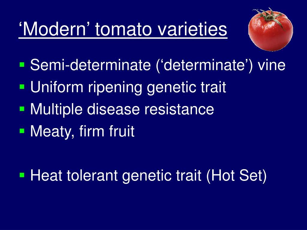 'Modern' tomato varieties