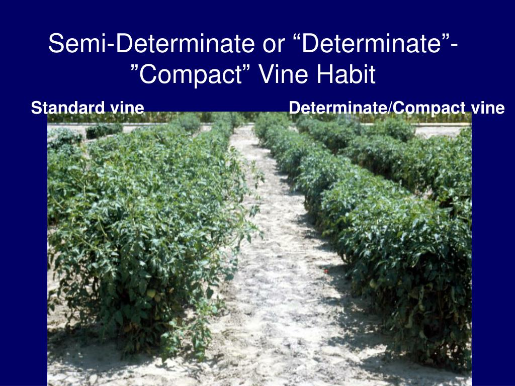 """Semi-Determinate or """"Determinate""""-""""Compact"""" Vine Habit"""