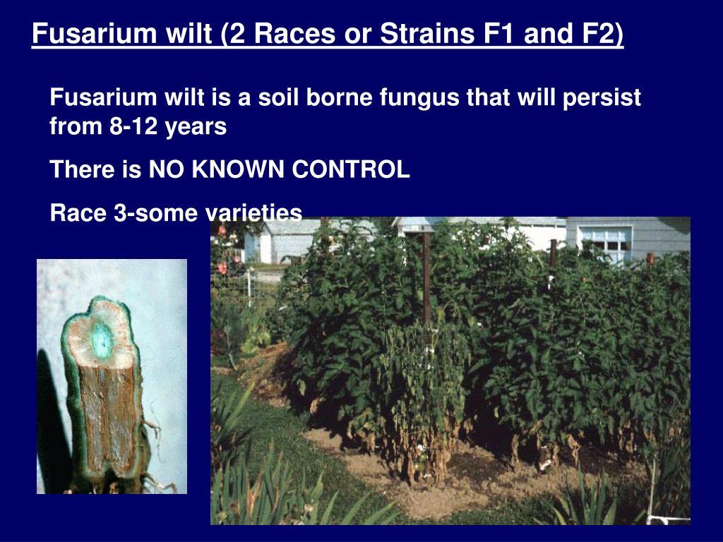Fusarium wilt (2 Races or Strains F1 and F2)