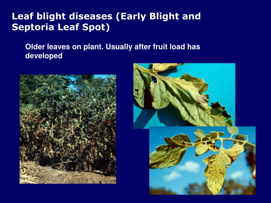 Leaf blight diseases (Early Blight and Septoria Leaf Spot)