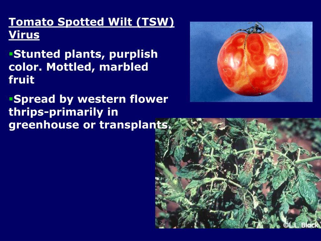 Tomato Spotted Wilt (TSW) Virus