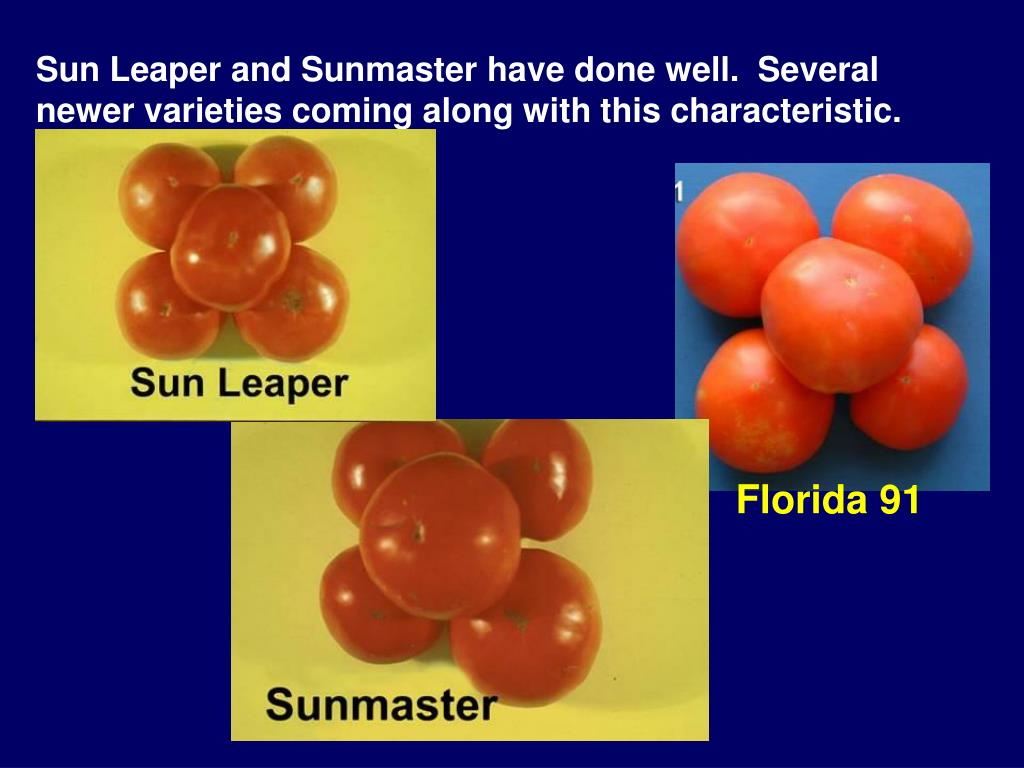 Sun Leaper and Sunmaster have done well.  Several newer varieties coming along with this characteristic.