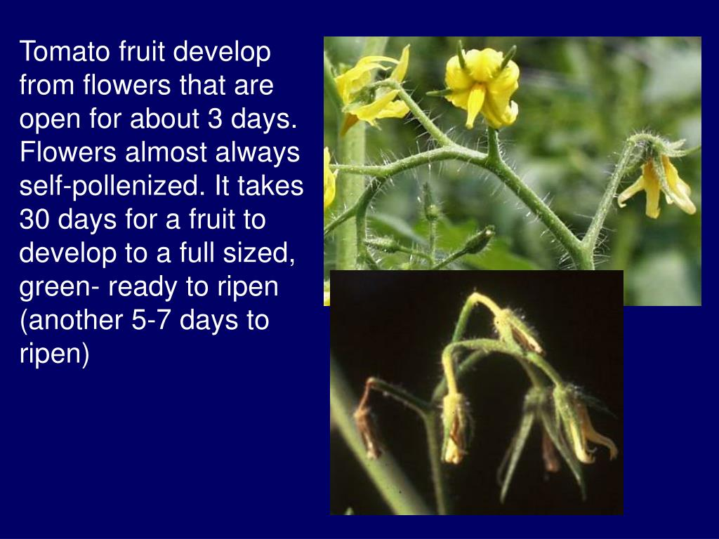 Tomato fruit develop from flowers that are open for about 3 days. Flowers almost always self-pollenized. It takes 30 days for a fruit to develop to a full sized, green- ready to ripen (another 5-7 days to ripen)