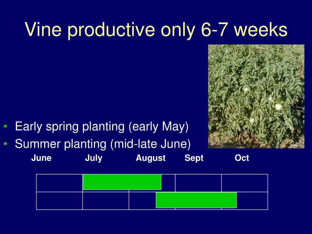 Vine productive only 6-7 weeks