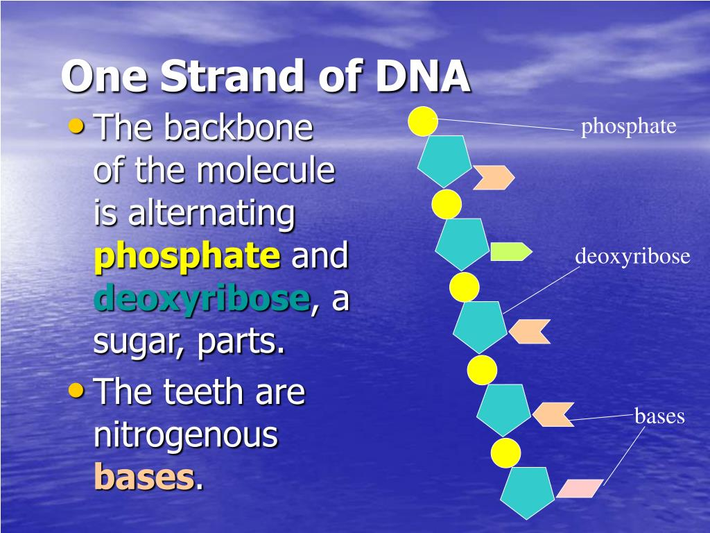 One Strand of DNA