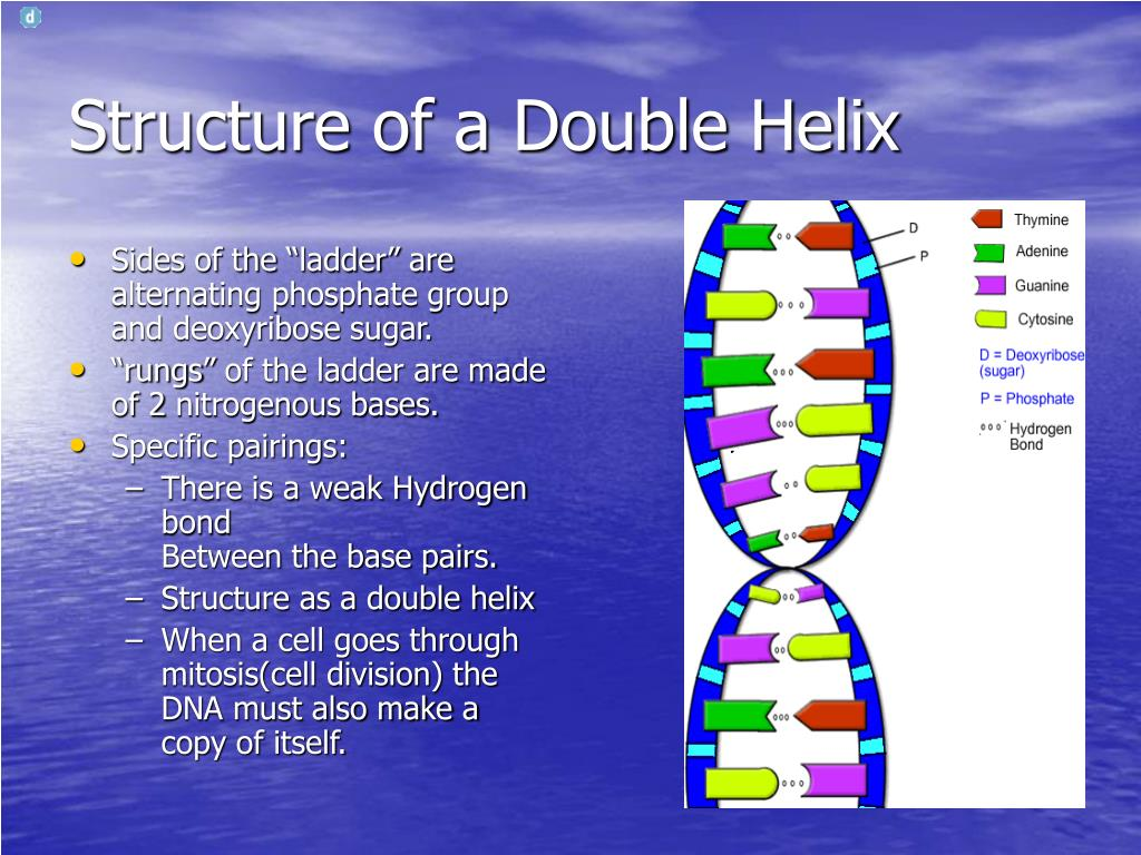 Structure of a Double Helix