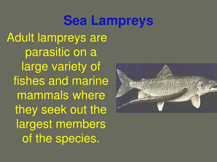 Sea lampreys3