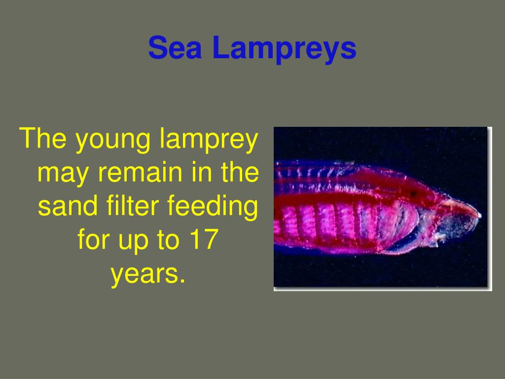Sea Lampreys