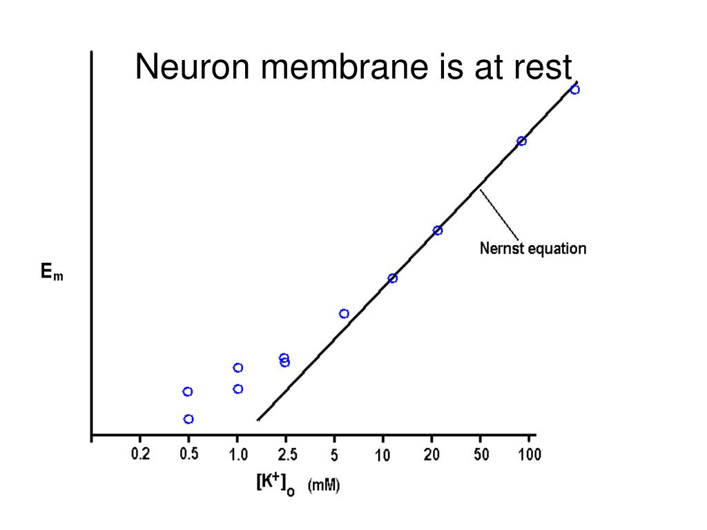 Neuron membrane is at rest