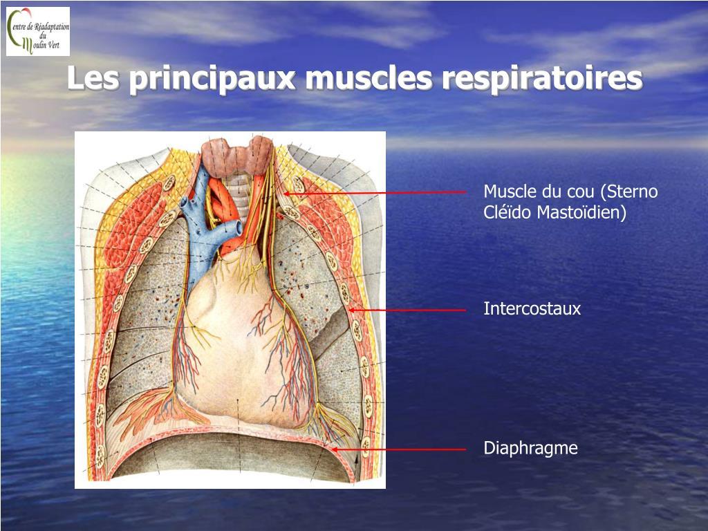 Les principaux muscles respiratoires