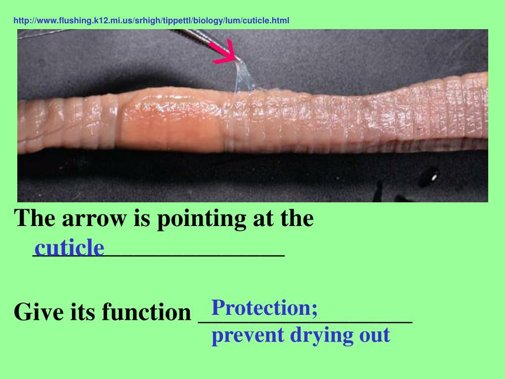 http://www.flushing.k12.mi.us/srhigh/tippettl/biology/lum/cuticle.html