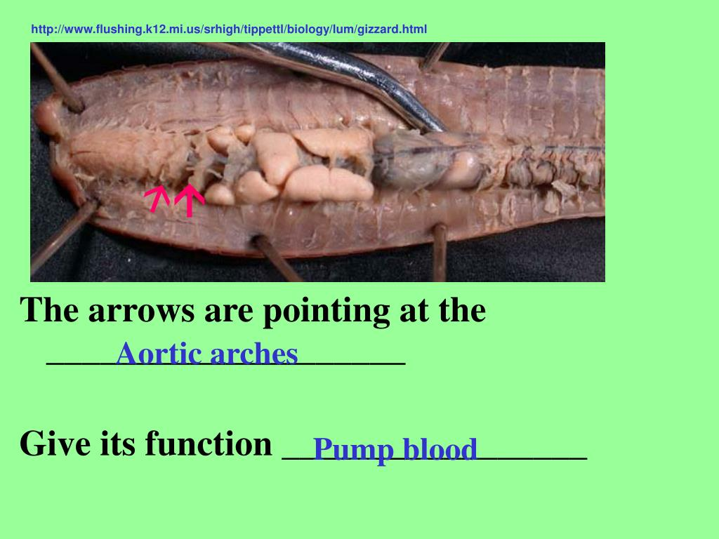 http://www.flushing.k12.mi.us/srhigh/tippettl/biology/lum/gizzard.html