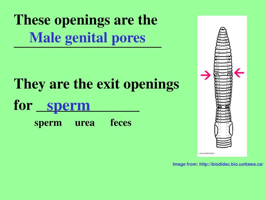 Male genital pores