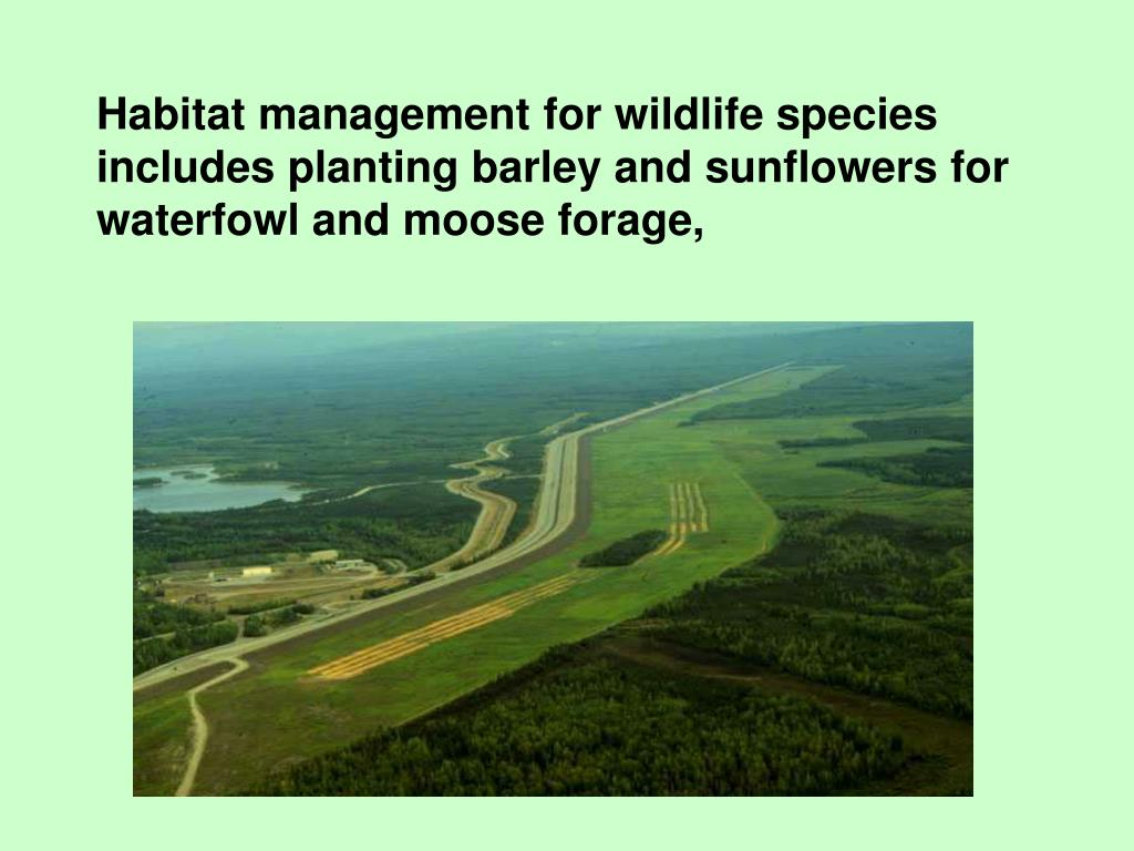 Habitat management for wildlife species includes planting barley and sunflowers for waterfowl and moose forage,