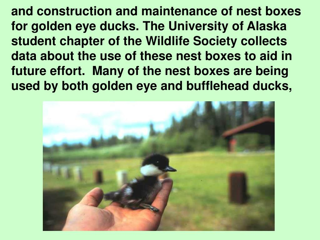 and construction and maintenance of nest boxes for golden eye ducks. The University of Alaska student chapter of the Wildlife Society collects data about the use of these nest boxes to aid in future effort.  Many of the nest boxes are being used by both golden eye and bufflehead ducks,