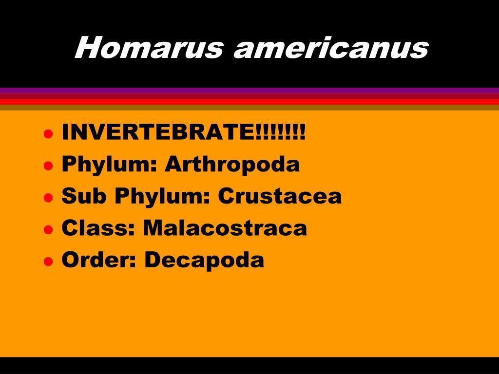 Homarus americanus