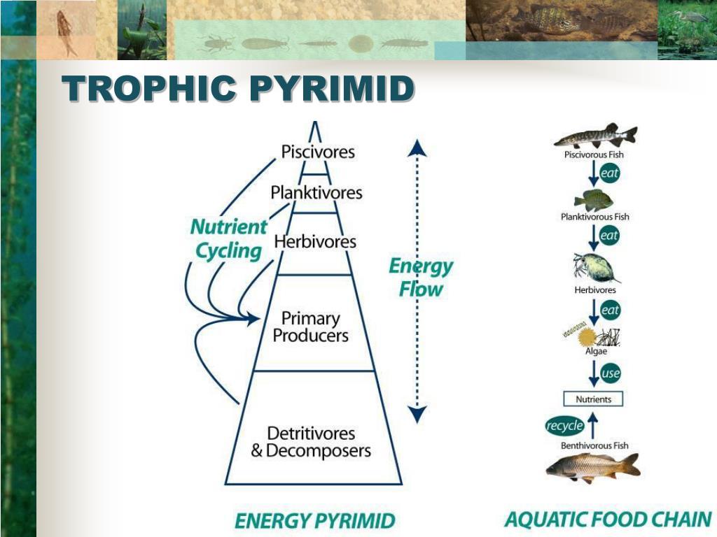 TROPHIC PYRIMID