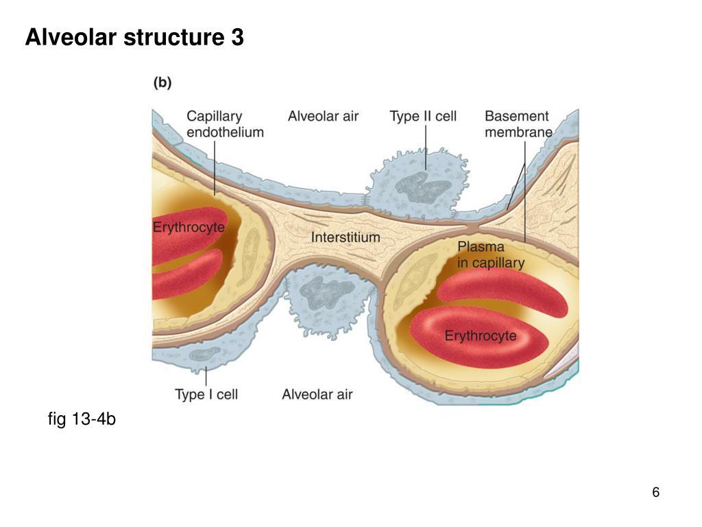 Alveolar structure 3