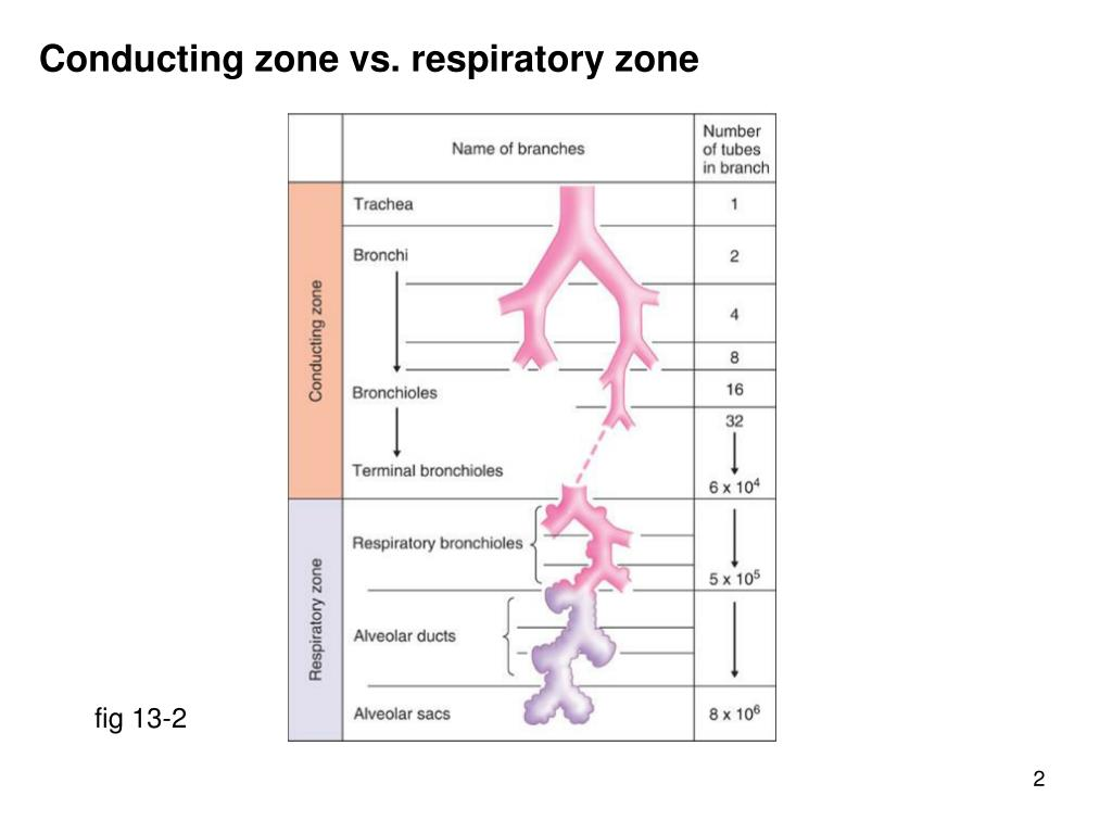 Conducting zone vs. respiratory zone