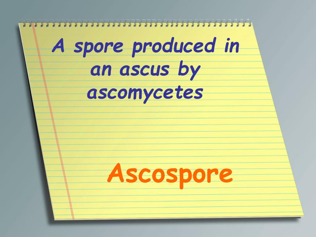 A spore produced in an ascus by ascomycetes
