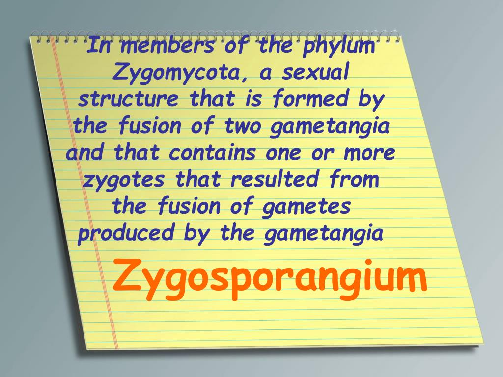 In members of the phylum Zygomycota, a sexual structure that is formed by the fusion of two gametangia and that contains one or more zygotes that resulted from the fusion of gametes produced by the gametangia