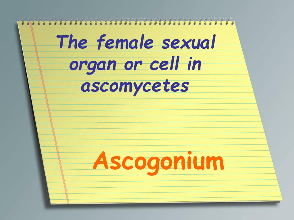 The female sexual organ or cell in ascomycetes