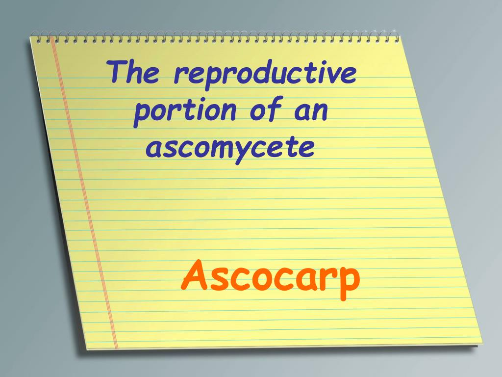 The reproductive portion of an ascomycete