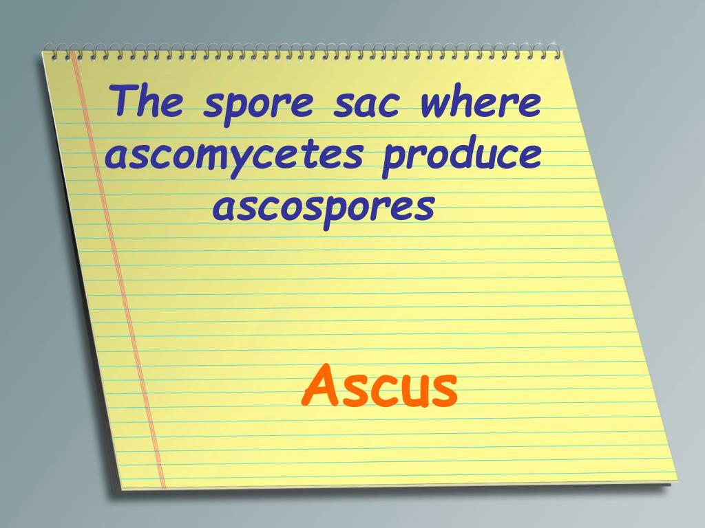 The spore sac where ascomycetes produce ascospores