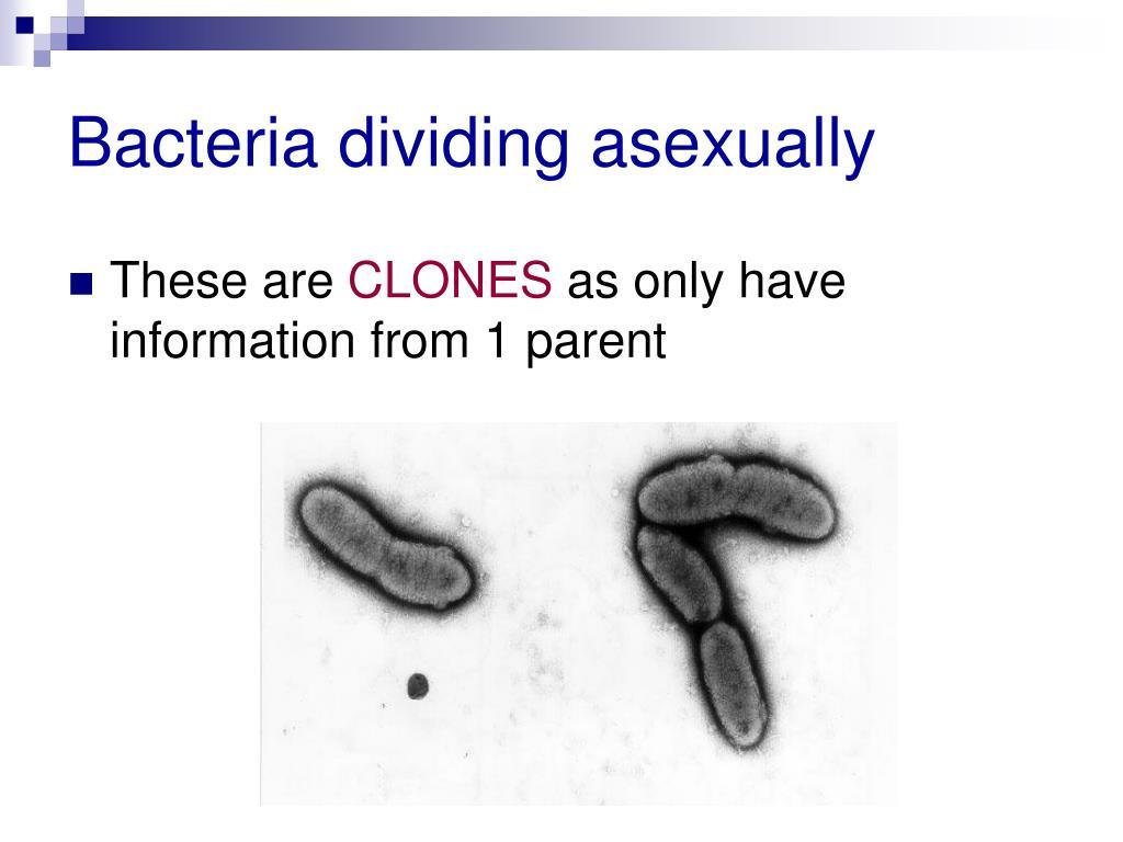 Bacteria dividing asexually