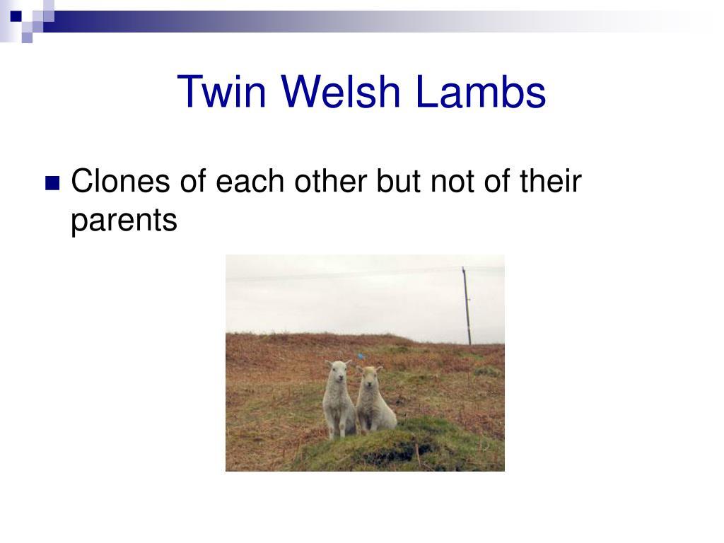 Twin Welsh Lambs