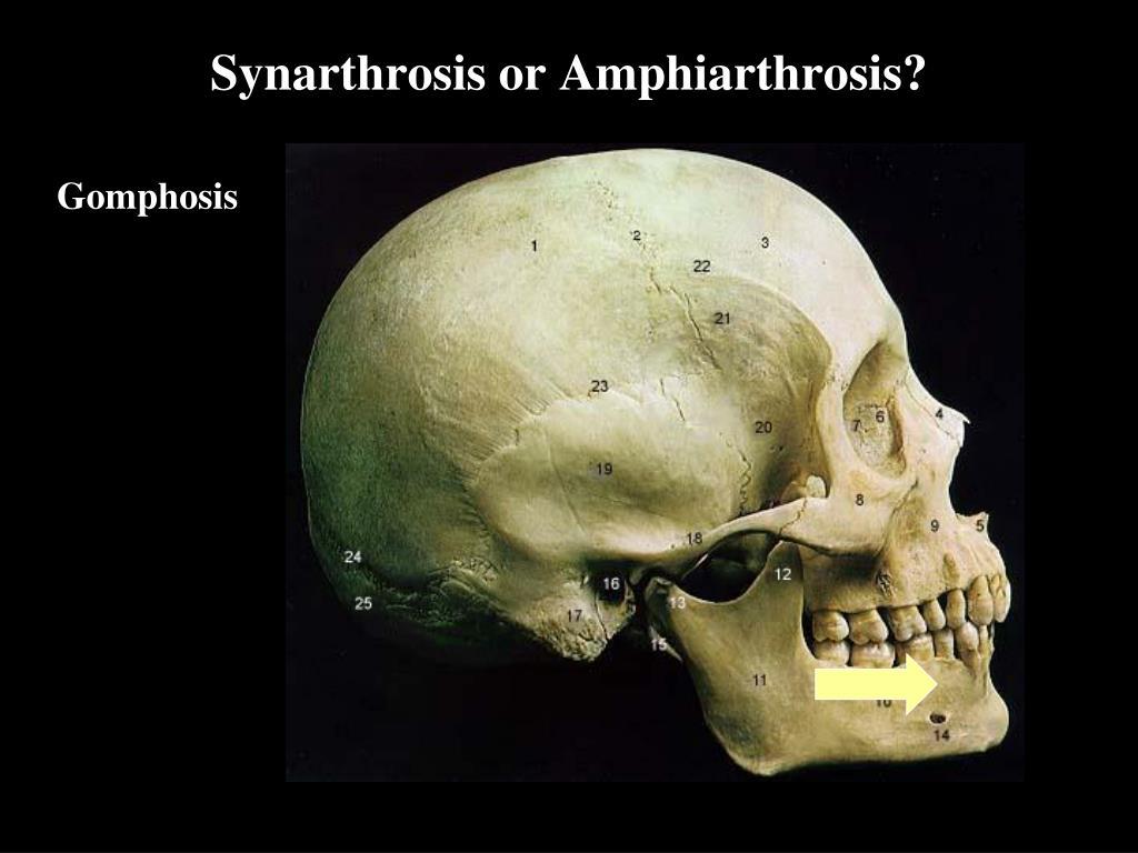 Synarthrosis or Amphiarthrosis?