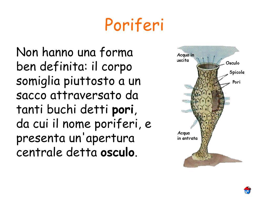 Poriferi