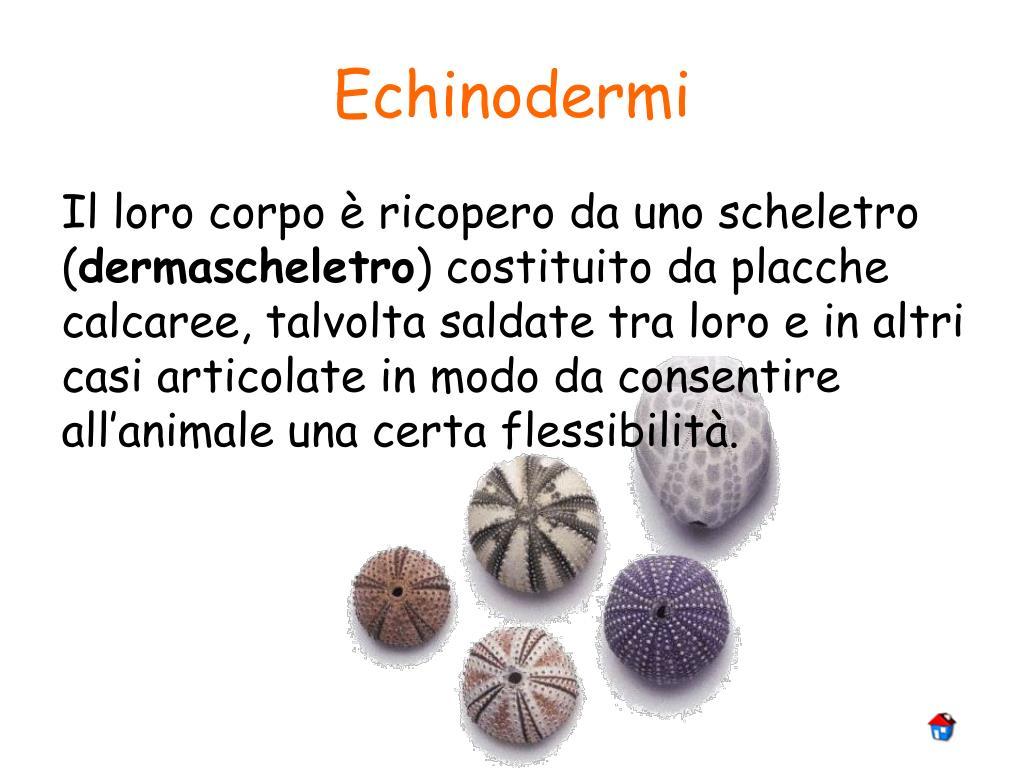 Echinodermi