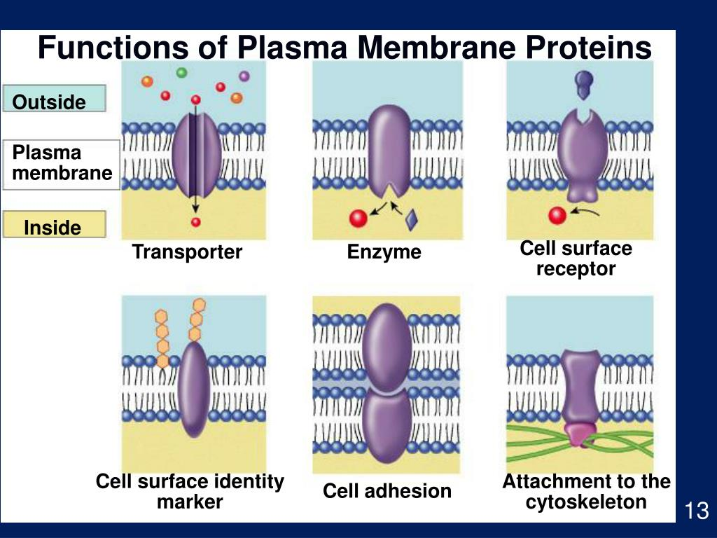 Functions of Plasma Membrane Proteins