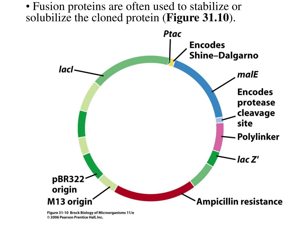 Fusion proteins are often used to stabilize or solubilize the cloned protein (