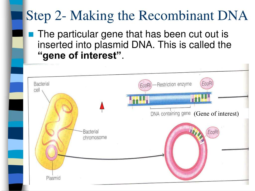 Step 2- Making the Recombinant DNA