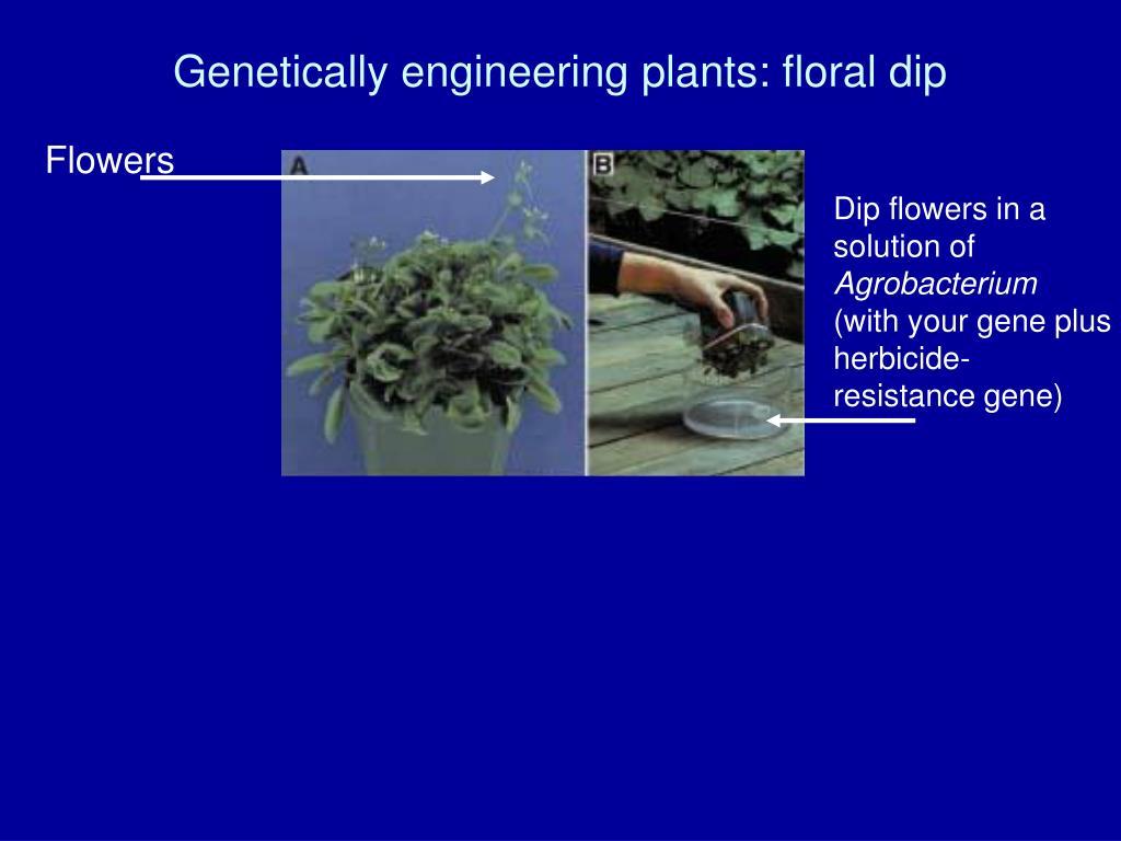Genetically engineering plants: floral dip
