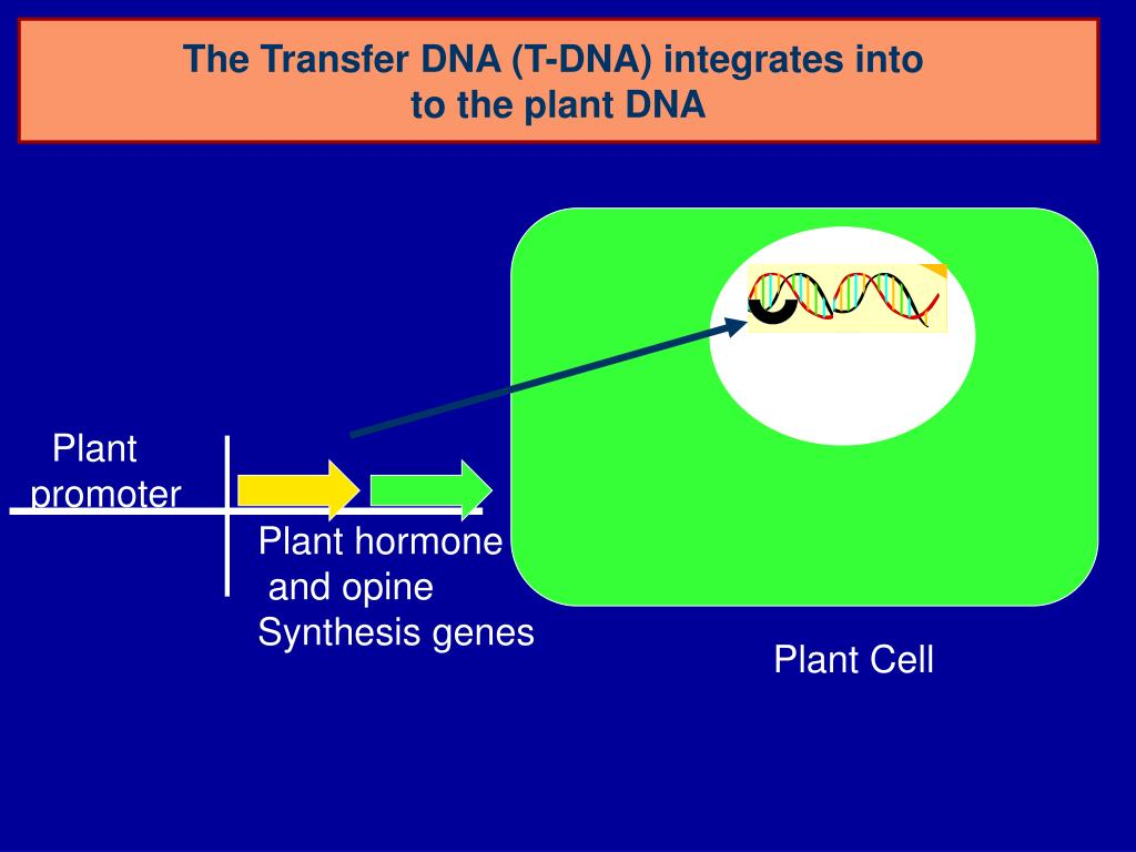 The Transfer DNA (T-DNA) integrates into