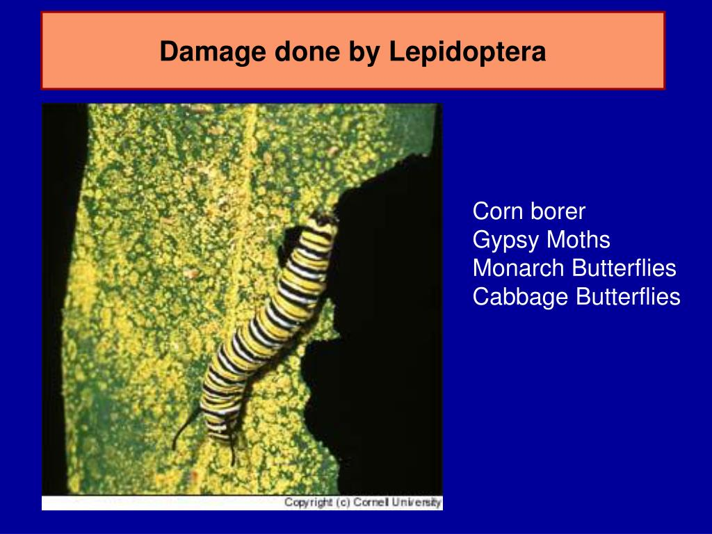Damage done by Lepidoptera
