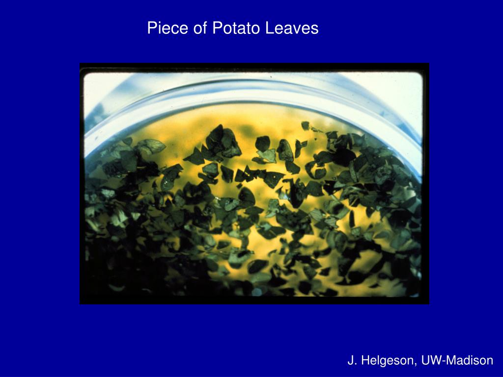 Piece of Potato Leaves