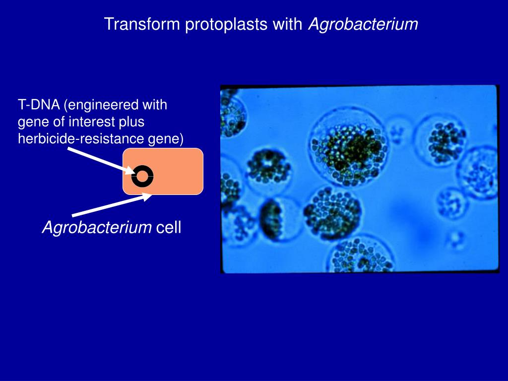 Transform protoplasts with